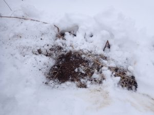 雪中トピナン!(赤キクイモ)、随時掘り上げて発送しています~!