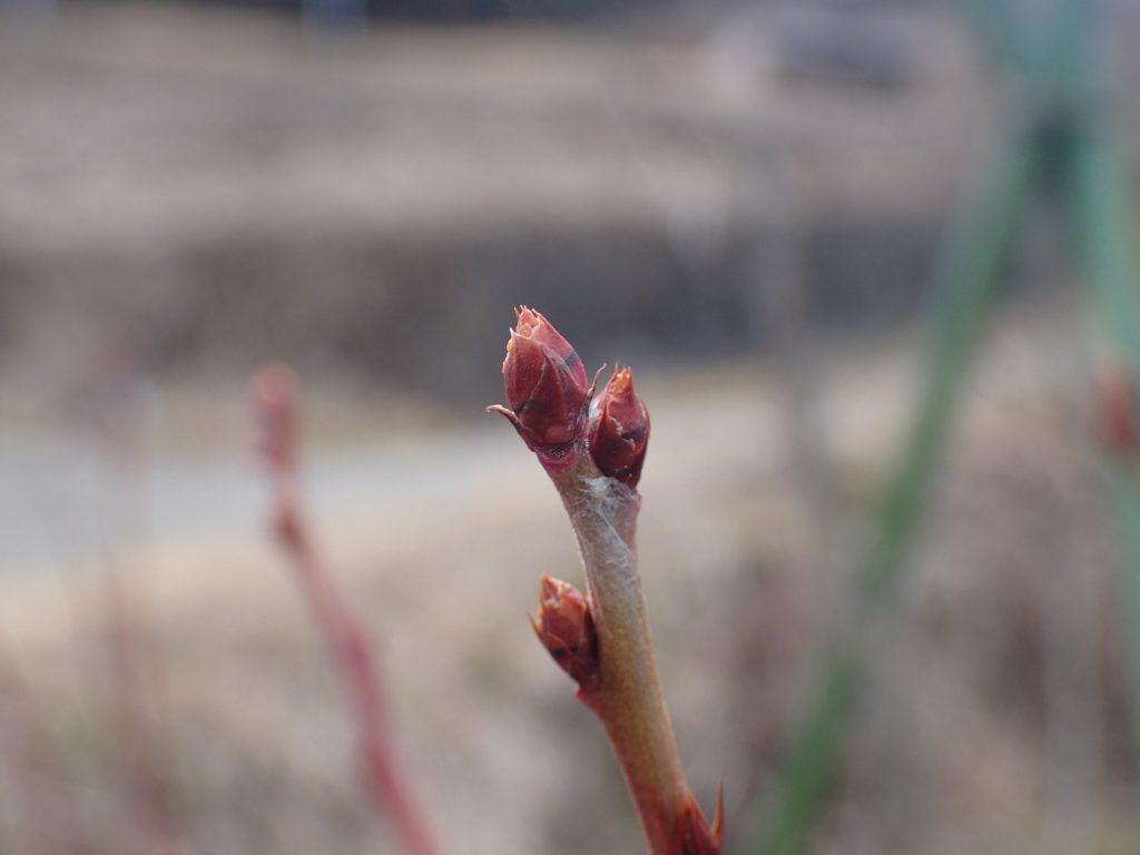 ブルーベリーの新芽