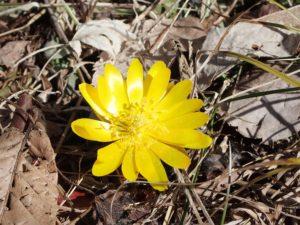 春を告げる花、フクジュソウが咲き始めました!