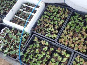 ゆっくりですが、野菜の苗が少しずつ育っています!