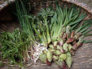 タラの芽が膨らみ始めました! 今日発送の季節の山菜セットです!