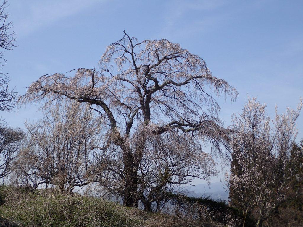 慶師集落の枝垂れ桜が、見ごろを迎えています!