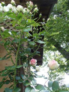 ピエール・ド・ロンサールが咲き始めました!