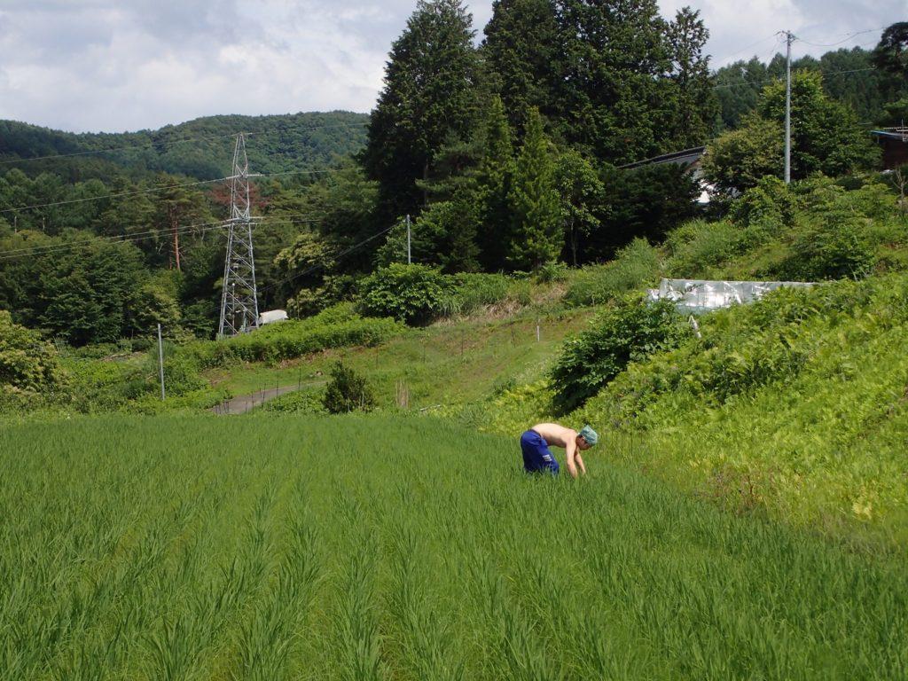 今年も裸族の青年が、田草取りのお手伝いに来てくれました!