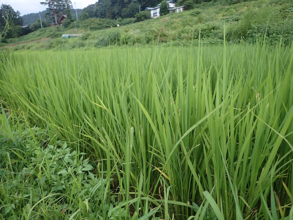 県立大学実習圃場 稲と大豆の成長の様子⑥