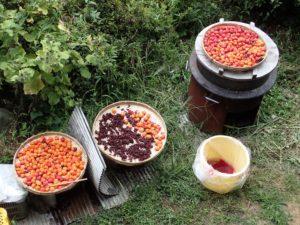 今頃になって、梅干しを干し始めました。