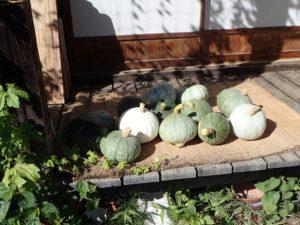 カボチャの収穫を始めました!