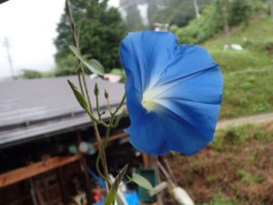ヘブンズブルーがようやく咲きました!