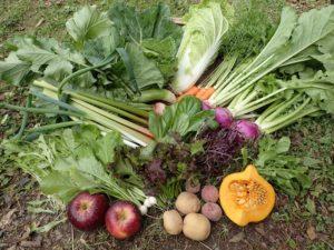 季節の野菜セットに、ルバーブが入りました!