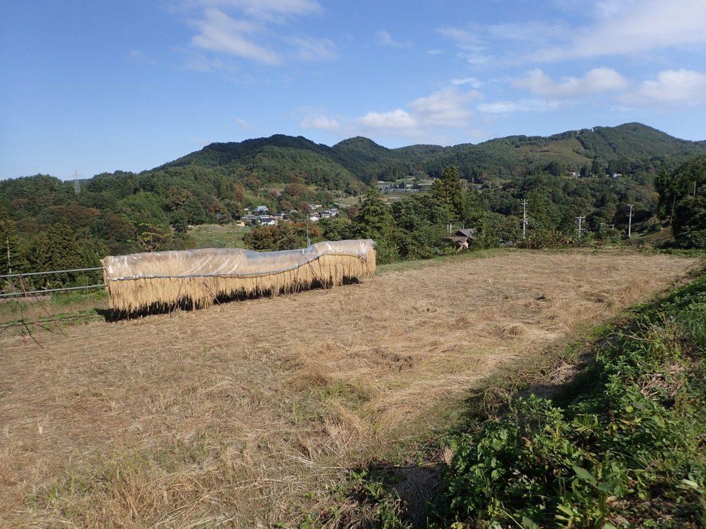 県立大学実習圃場 稲と大豆の成長の様子⑨