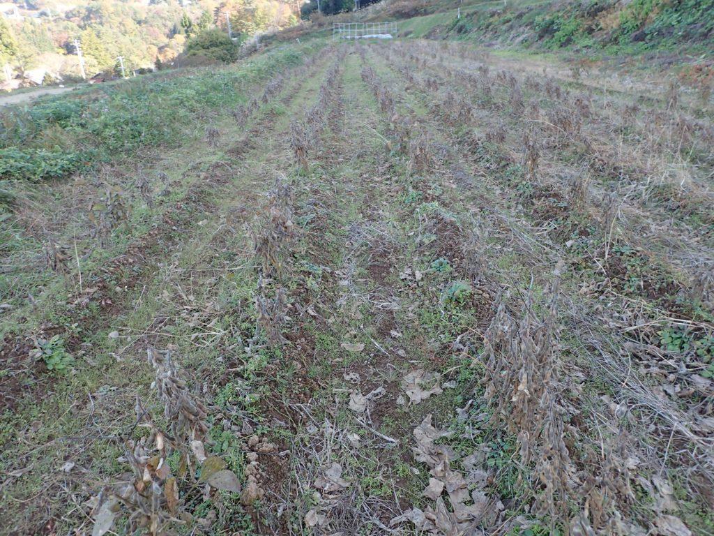 大豆の収穫を進めています。