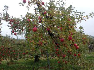 リンゴ(フジ)の収穫のお手伝い